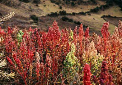 Quinoa: Legendární potrava starých Inků