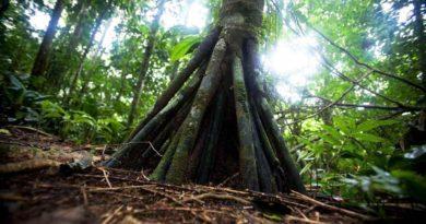 Záhadný strom, který prochází Amazonií