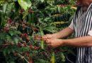 Produkci kávy ohrožují klimatické změny