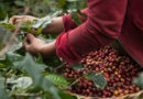 Jak vypadá obyčejný den pěstitele kávy?