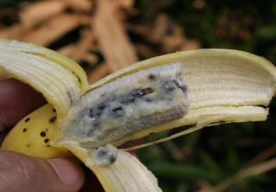 Banány ohrožuje nová choroba! Co bude dál?